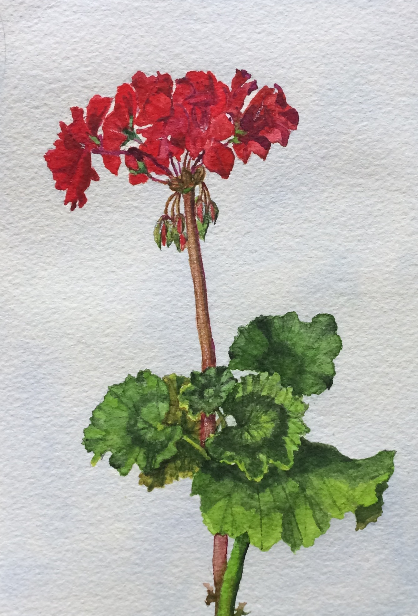 Pelargonium - sold