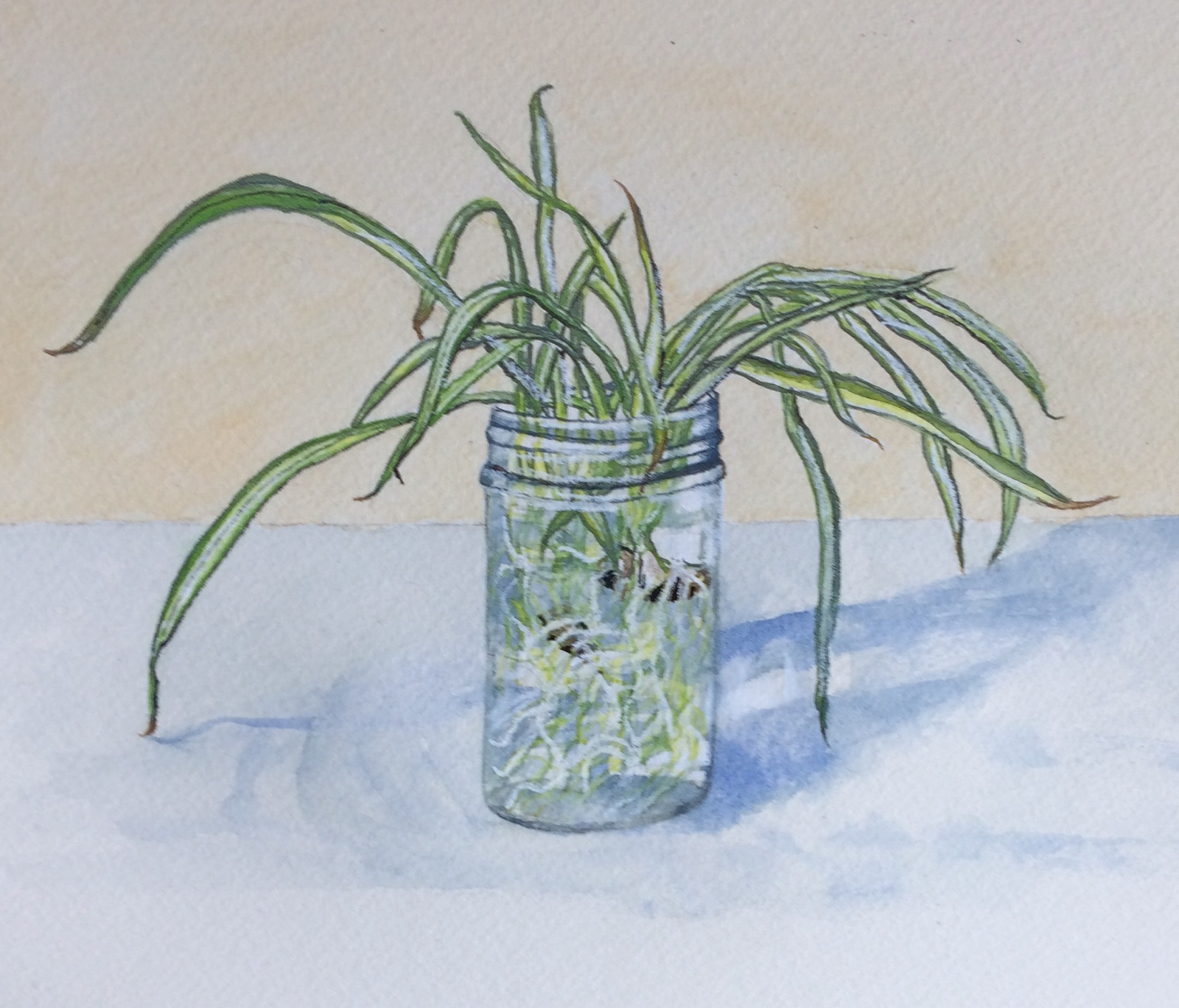 Spider plant rooting